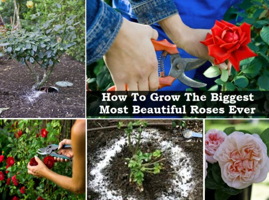 how to take a rose cutting to grow