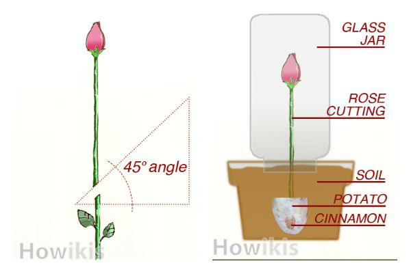 Top-tip-to-plant-rose-from-cuttings tutorial