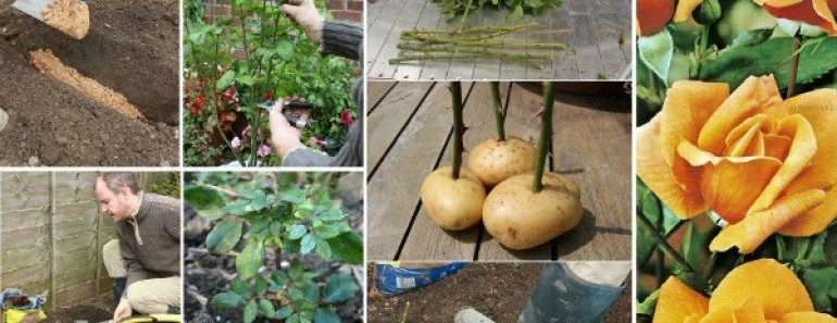 Grow Roses on Potatoes from Cutting Tutorial