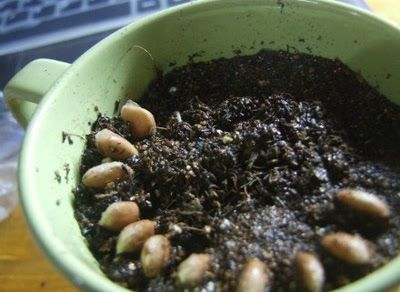 How-to-Grow-a-Lemon-Tree-from-Seed-in-a-Pot-Indoors-4