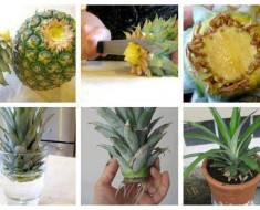 Regrow Pineapple in a Plant Pot Tutorial