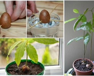 How to Grow Avocado Tree from Seed (Video