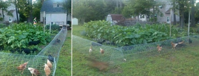 DIY Chicken Tunnel for Backyard