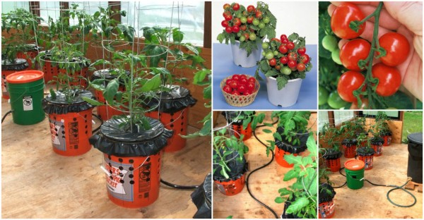 how to grow tomato in bucket  beesdiy, Natural flower