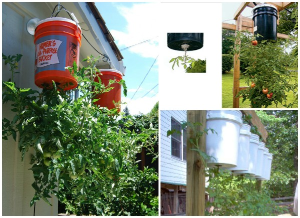How to grow tomato in bucket - Can a plant grow upside down ...