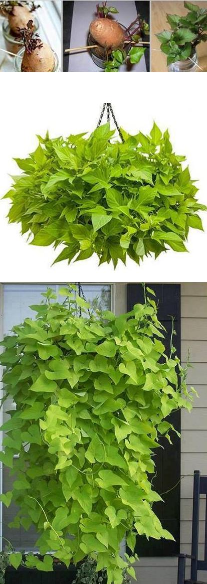 How to Grow Potato Vine Plant2
