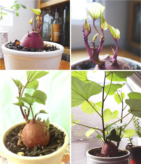How to Grow Potato Vine Plant4