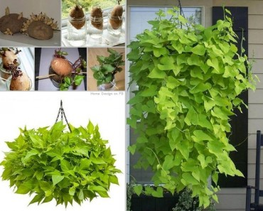 How toHow to Grow Sweet Potato Vines