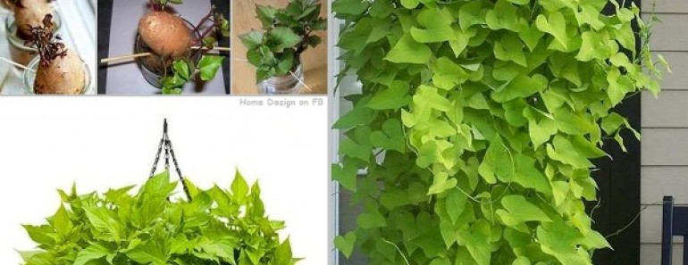 How to Grow Potato Vine Plant