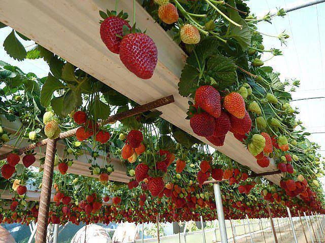 How to Grow Strawberries In Rain Gutters2